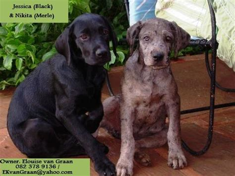 labradane puppies for sale previous litters el diyuk labradanes