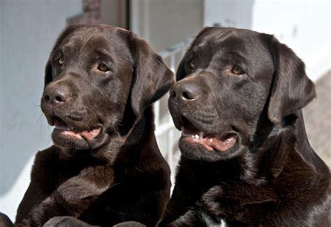 alimentazione boxer adulto labrador archives il carattere dei cani