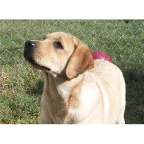 lab puppies for sale in central illinois impulse labrador retrievers labrador retriever breeder in