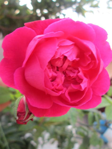 wallpaper flower rose free download pot marigold free flowers downloads webextensionline