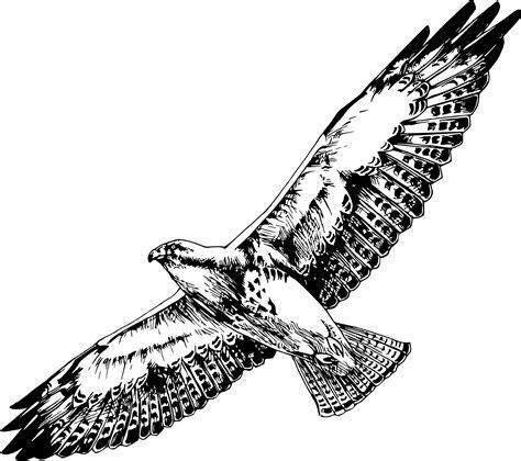 clipart swainson s hawk