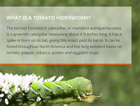 how to get rid of tomato hornworms in your garden