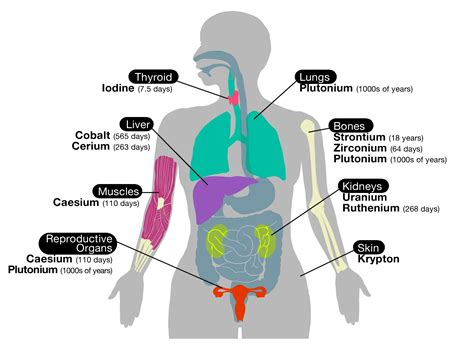 diagram of image gallery human organs illustration