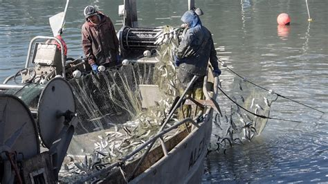 packers bay boat r fisherman catching tons of herring in sf bay youtube