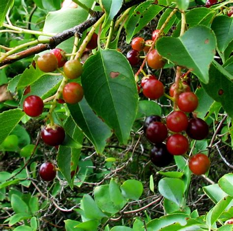 what is the fastest growing fruit tree five fast growing fruit trees and one nut