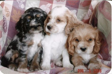 spaniel puppy photo of american cocker spaniel