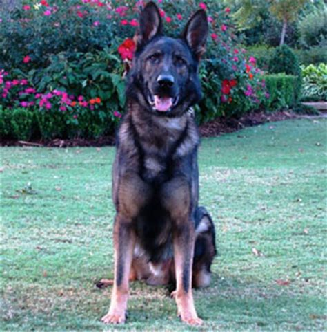 fully trained puppies for sale fully trained german shepherd protection dogs for sale