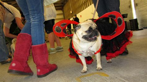 pug adoption seattle pug at seattle pug rescue s pug gala sniff seattle walkers