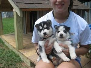 free puppies in fort smith arkansas dogs fort smith ar free classified ads