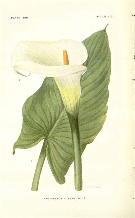 vintage calla lily l vintage botanical print calla lily crafts arts and more