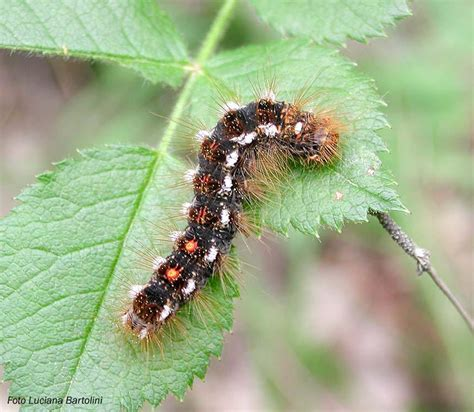 poisonous caterpillars infest spurn point in england
