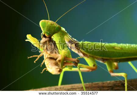 what eats grasshoppers green mantis eats a grasshopper stock photo 35514577