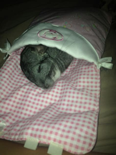 chinchilla bedding 1000 images about chinchilla on pinterest guinea pigs