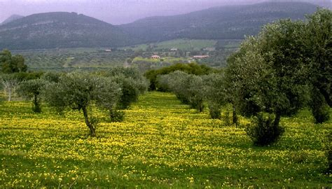 Lookups Are Made Possible By This Domain File Sardinia Maristella Olive Grove Jpg