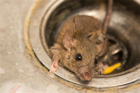 how to get a rat out of your house fireplace rodents fireplaces