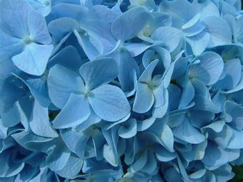 wallpaper blue hydrangea blue hydrangea wallpaper www pixshark com images