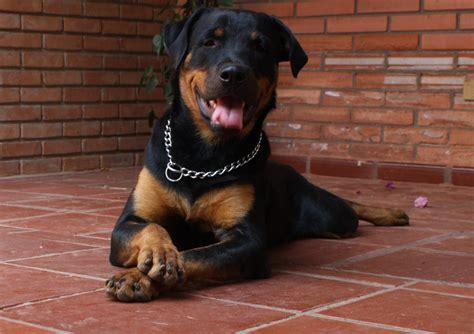 imagenes animales grandes fotos de perros grandes