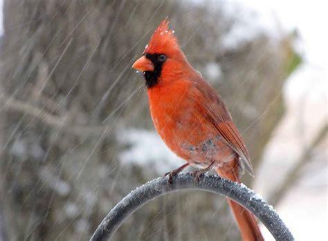 sweet cardinal images wild birds wild animal and birds