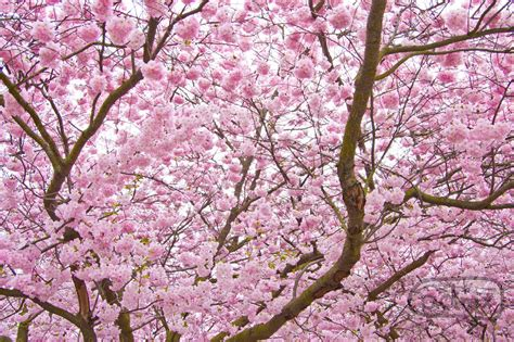 cherry blossom tree sharzy dreams of japan