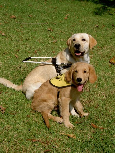 how to a puppy to be a service service attacks and how we can protect those heroes on 4 paws service animal edu