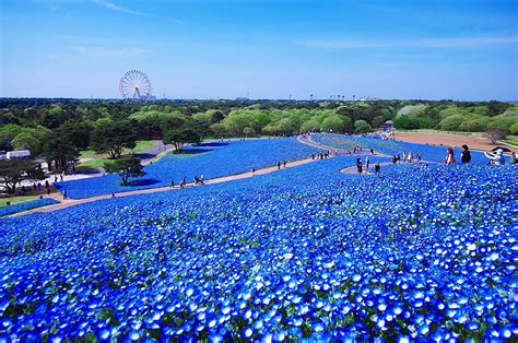 Baby Japan Blue 4 5 million baby blue in hitachi seaside park in japan bored panda