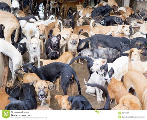 dog not eating thailand stock photo 202319899 shutterstock rescued dogs from meat mafia editorial photo image 20796951