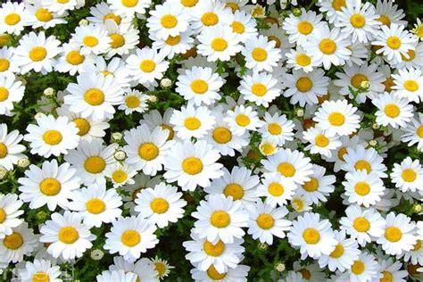 foto margherita fiore margherita di co o bellis perennis fiore ricco di