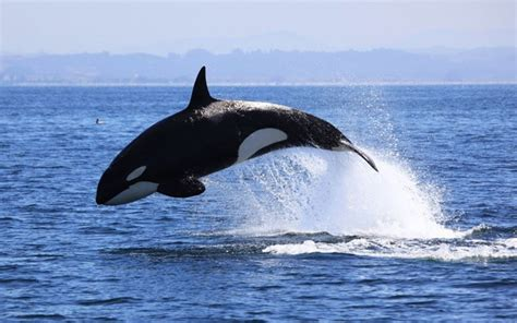 Orca Bay Suzuki Killer Whales For One Of Canada S Most Endangered