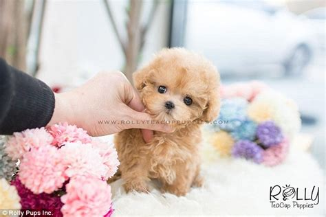 when can puppies be sold instagram account shows tiny 8000 teacup puppies daily mail