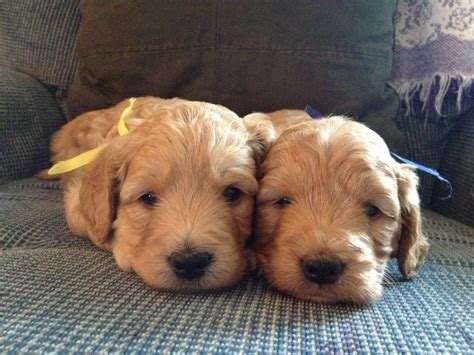 Golden Acres Akc Golden Retriever Goldendoodle Puppies