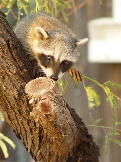 how to catch a raccoon in my backyard how to catch a raccoon in my backyard 28 images 100