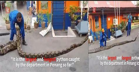 Multimeter Di Malaysia piton sepanjang 7 meter ditangkap di malaysia okezone news
