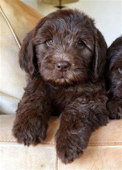brown labradoodle puppy best 25 chocolate labradoodle ideas on labradoodles labradoodle puppies
