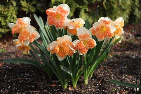 fiori di loro fiori narciso fiori di piante caratteristiche