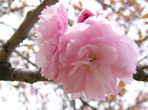 wallpaper bergerak gambar bunga hewan lucu 2016 animasi bergerak bunga sakura berguguran