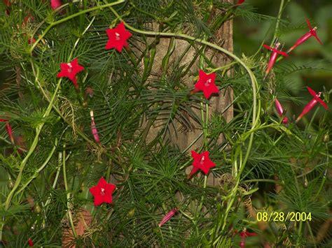 jean the plant lady hummingbird vines