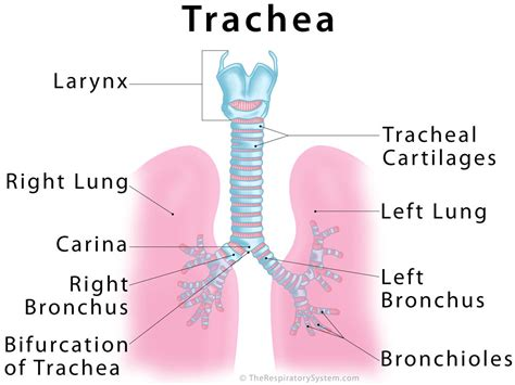 lungs definition location anatomy function diagram gallery what is trachea anatomy labelled