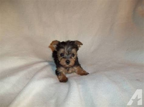 yorkie puppies for adoption in illinois akc terrier puppy for adoption for sale in chesney shores illinois