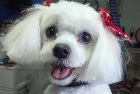 maltese faces grooming cute photos of happy clients laurel s pet grooming