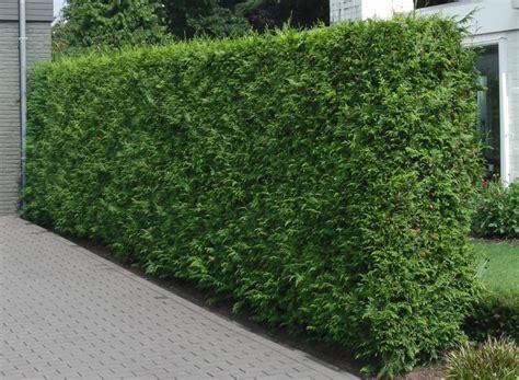 thuja occidentalis brabant thuja brabant hedging plants thuja occidentalis brabant
