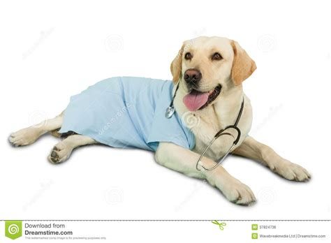 puppy scrubs labrador lying on floor wearing scrubs and stethoscope royalty free stock
