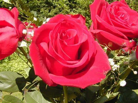 gambar gambar bunga mawar