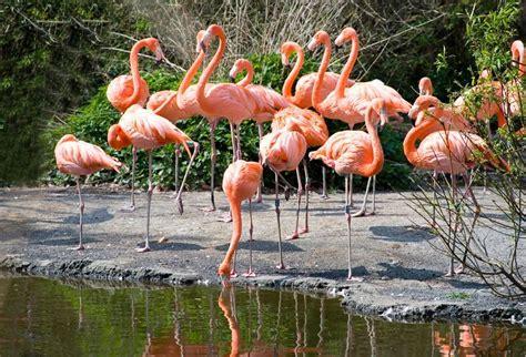 Bfs Big Flamingo flaming r 243 żowy w parku awifauny holandii 13449824 fototapety ścienne obrazy na pł 243 tnie