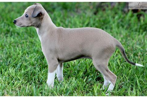 greyhound puppy for sale italian greyhound puppies puppy italian greyhound image breeds picture