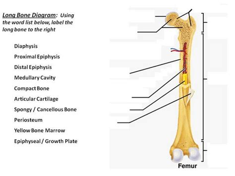 bone structure diagram blank bone diagram anatomy organ