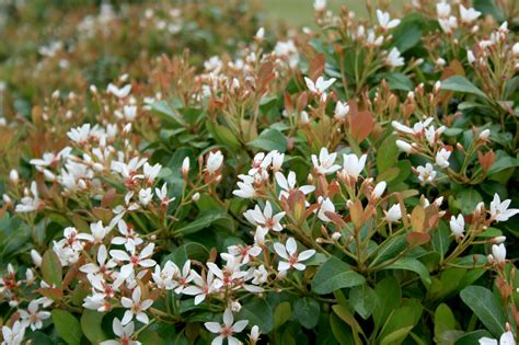 franklin county ms news springtime blooming indian hawthorn shrubs available locally at sue s