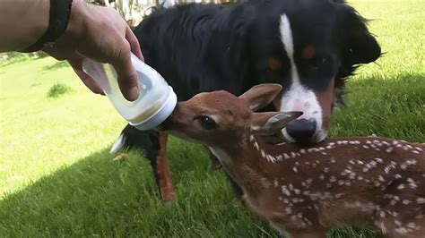 saves baby deer baby deer refuses to leave the human who saved bored panda