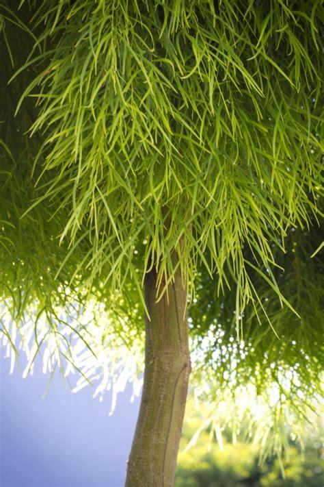 acacia cognata limelight