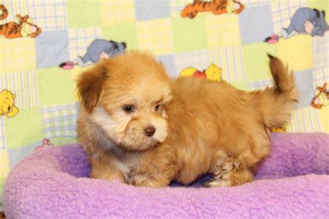 havanese puppies california angie s havanese puppies california havanese puppies