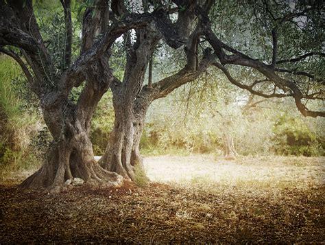 olivenbaum garten olivenbaum pflegen so machen sie es richtig